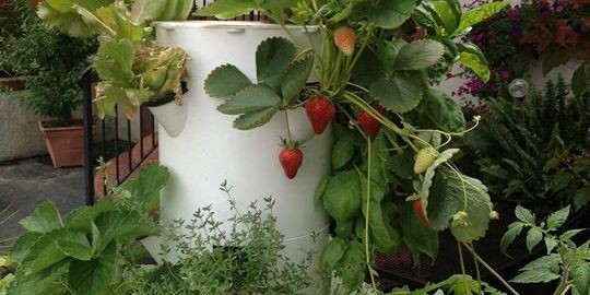 plant strawberries near top of Tower